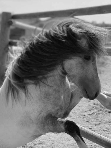 Grade Mini Dapple Grey Roan Pinto Stallion At Stud for sale in Sundance , WY