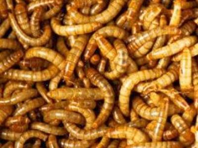 Crickets and Meal Worms