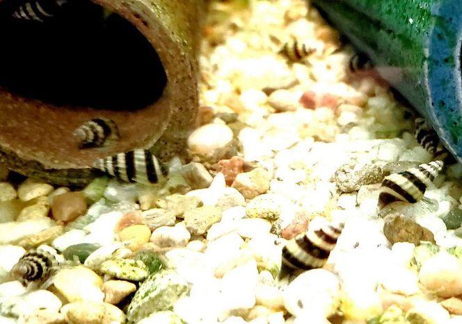 Assassin Snails for sale in Saratoga Springs , UT