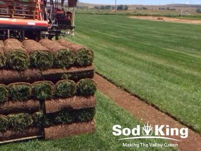 🥇SOD - KING BLUE™️ - Fresh Cut Kentucky Bluegrass