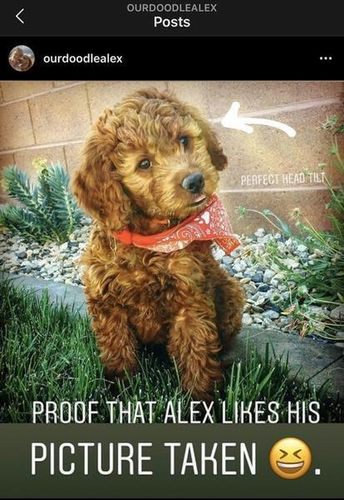Meet Alex, our mini-goldendoodle STUD. for sale in St. George , UT