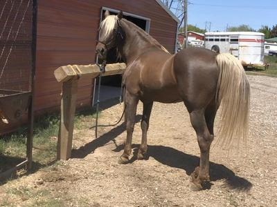 15.2 Well Gaited Registered Rocky Mountain Horse