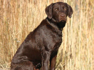 AKC Big Chocolate Lab Stud Retriever Labrador Stud