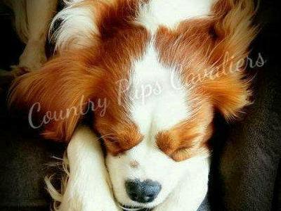 HEALTH TESTED AKC Cavalier King Charles