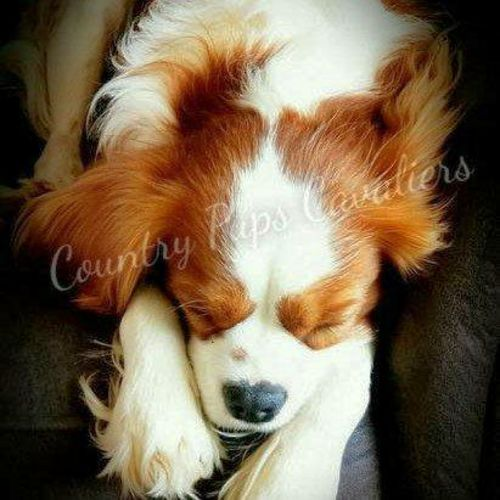 HEALTH TESTED AKC Cavalier King Charles for sale in Logan , UT