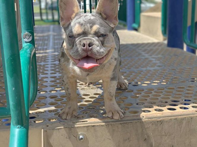 Lilac N Tan French Bulldog Fluffy Carrier Stud for sale in Clearfield , UT