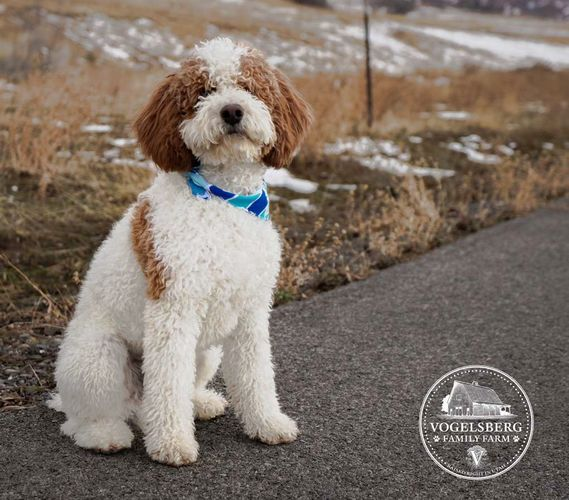 Toy/mini Poodle STUD!  for sale in Spanish Fork , UT