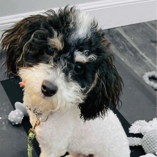 Tri Colored Toy Poodle Stud For Bernedoodle Doodle for sale in Murray , UT