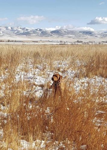 AKC Fox Red Labrador/Lab Stud for sale in Tooele , UT