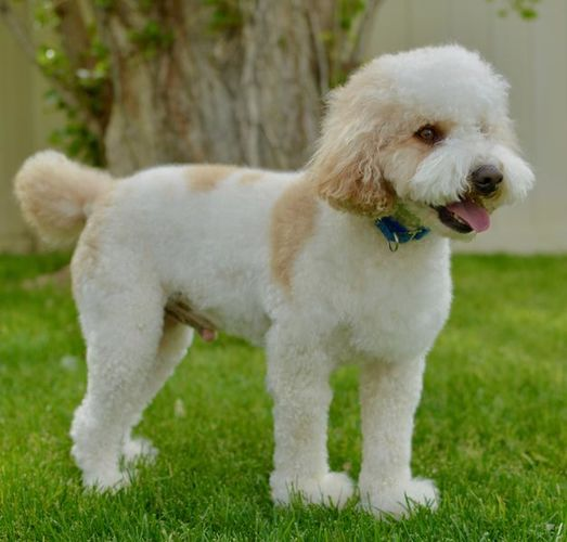 AKC Parti Moyen Poodle Stud Service for sale in Saratoga Springs , UT