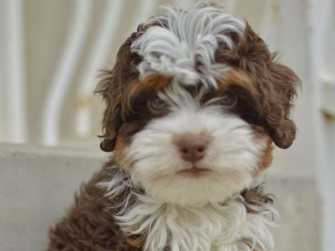 Adorable F1B Bernedoodle Tri color Chocolate Stud Service for sale in Saratoga Springs , UT