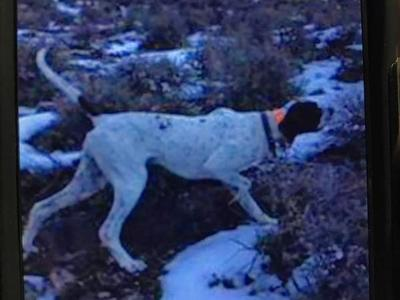 English pointer male
