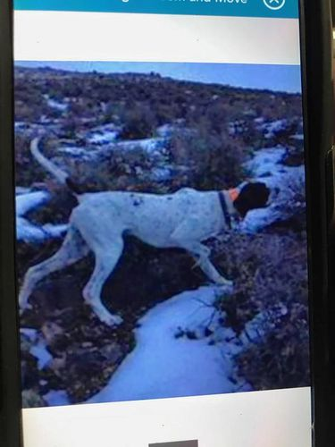 English pointer male for sale in American Fork , UT