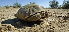 Wildlife agencies acquire 53 acres of 'vital' southern Utah habitat for threatened desert tortoise
