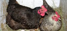 Some Logan residents concerned about proposed chicken regulations