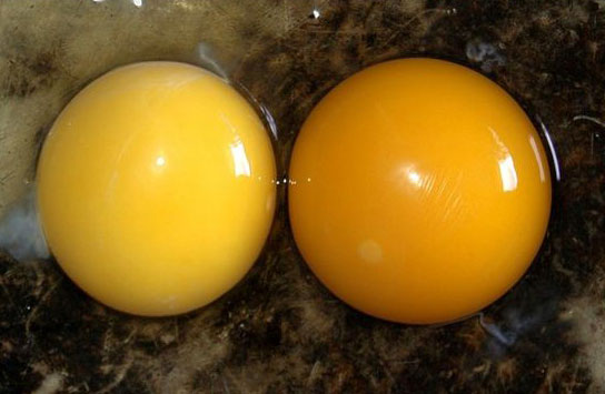 The Yolk From A Home Grown Hen, Right, Has Markedly More Color Than The  Store Bought Egg At Left.