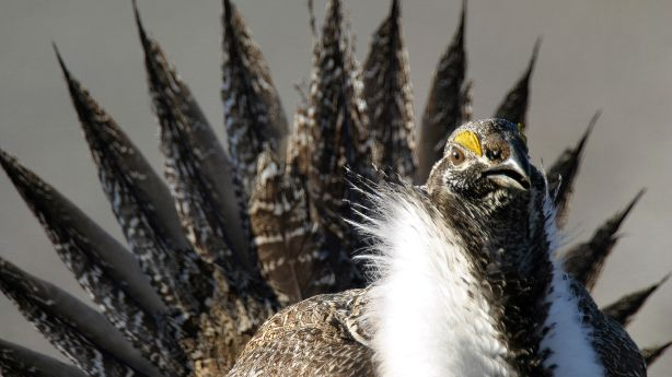 the greater sage grouse should not be added in the endangered species list Unprecedented conservation efforts keep greater sage-grouse off endangered species list audubon and the greater sage-grouse: the greater sage-grouse will not.