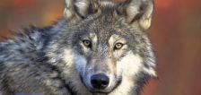 Colorado officials observe gray wolf pups for the first time in about 80 years