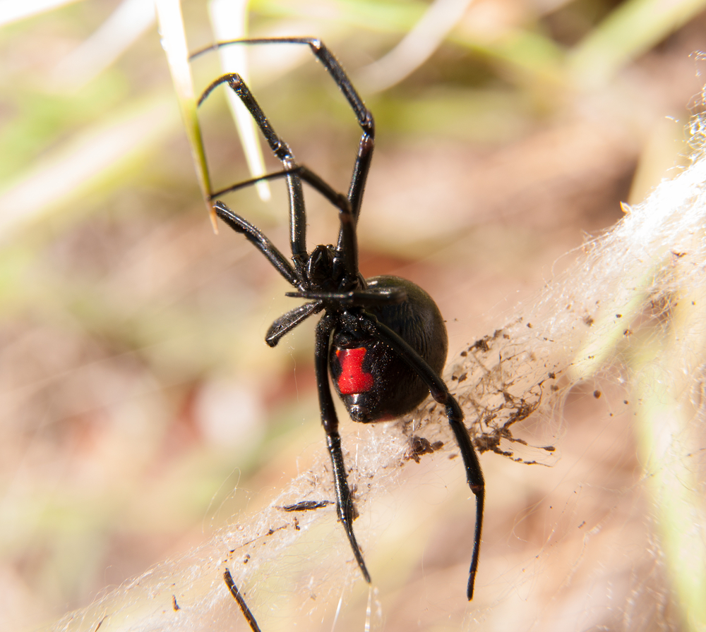 5 of the most common spiders in utah ksl com