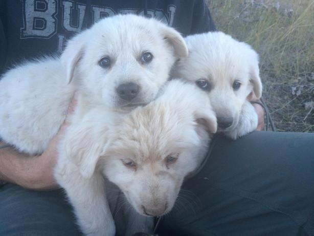 3 Utahns Rescue 8 Orphaned Puppies In Uintas Kslcom