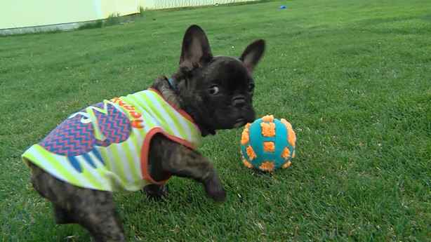 Family Reunited With French Bulldog Puppy After Potential Buyer