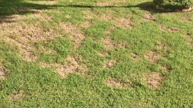 Dead Grass Utah Grubs May Be To Blame Ksl Com
