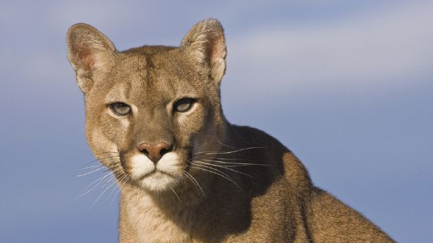 DWR to issue more cougar, less bobcat permits before hunting season begins