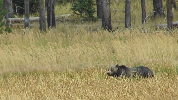Ksl Com Cars >> Utah bear expert weighs in after Montana man's grizzly ...