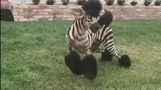 Ksl Com Cars >> Have You Seen This? Fanciest zebra poodle ever seen | KSL.com