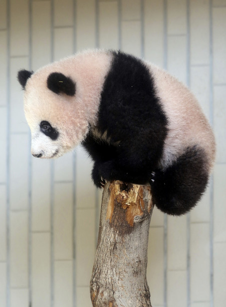 AP PHOTOS Tokyo Baby Panda Melts Hearts Of Fans In Debut KSLcom - 28 cute baby animals will melt heart