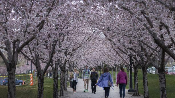 Looking Back At The History Of Utah Capitol S Blossom Trees Ksl Com