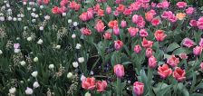 User submitted: Tulip festival and more spring photos