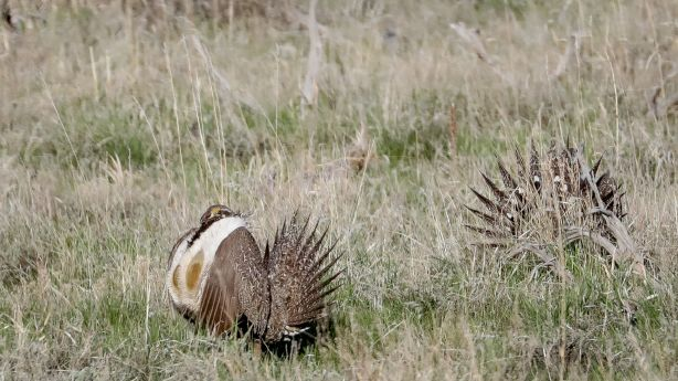 Sage grouse plans spark anger, praise in Western states