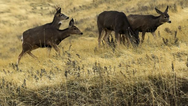 More than 30 dead deer found near landfill in Utah
