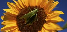Remember the invasion of grasshoppers in southern Utah? Now there's an explanation