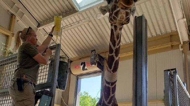 Utah's Hogle Zoo says goodbye to beloved giraffe