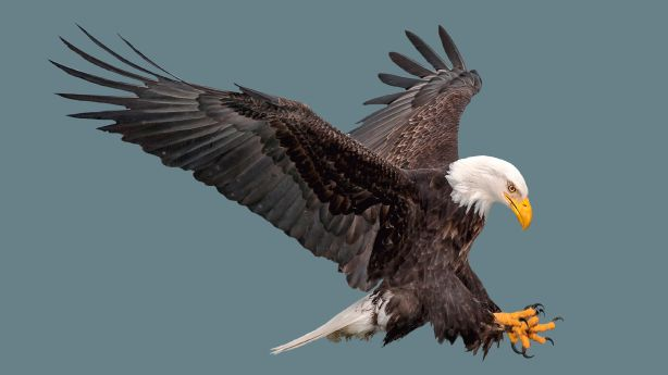 Native American tribes now allowed to collect eagle body, feathers found on tribal lands