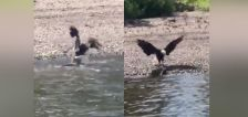 Video shows battle between bald eagle and large muskie in Minnesota