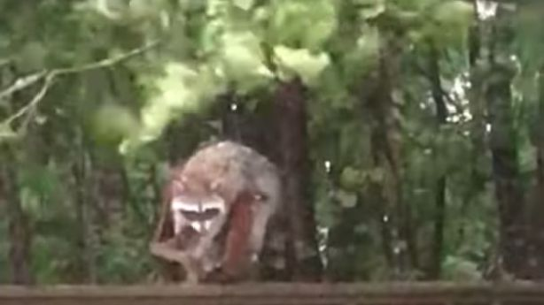 Have You Seen This? Raccoon goes for a ride during Hurricane Dorian