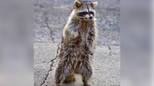 Zombie raccoons in Provo? A warning from Provo police