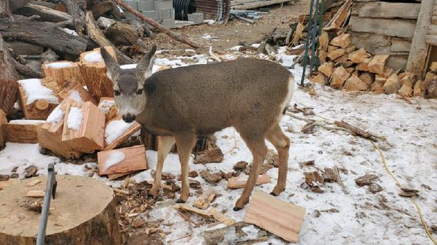 DWR to review wildlife euthanasia policy after small town's beloved deer shot by officer