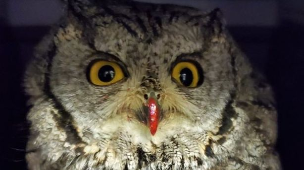 Painted owl angers Utah wildlife officials