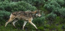 Yellowstone's wolves 25 years after reintroduction: The effects on hunters and human safety