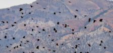 Why Utah birders want you to go 'lights out' during spring migration season