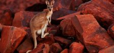 Kangaroos can learn to communicate with humans, researchers say
