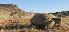 Fast-growing southern Utah county getting a new road through tortoise habitat