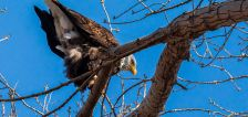 DWR birdwatching events canceled, but here's where you can still view bald eagles in Utah