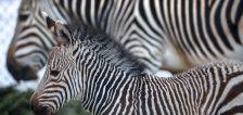 Baby zebra at Utah's Hogle Zoo now has a name