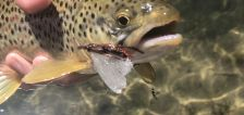 Whirling disease found in fish in northeast Utah creek. Here's how anglers can help slow its spread