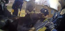 Loose moose: 1K pound moose relocated after weekend stroll through Centerville neighborhood